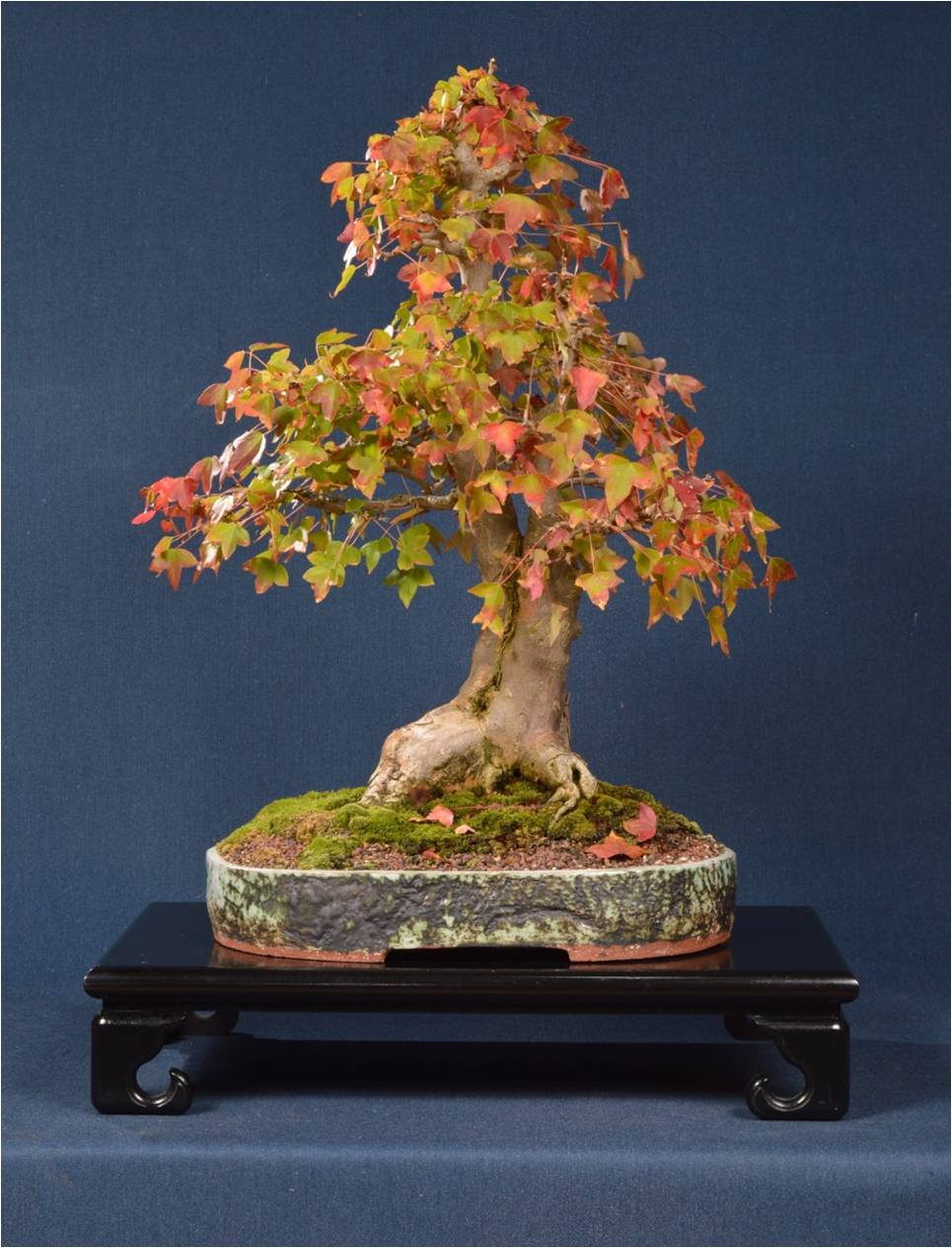 Chinese Maple