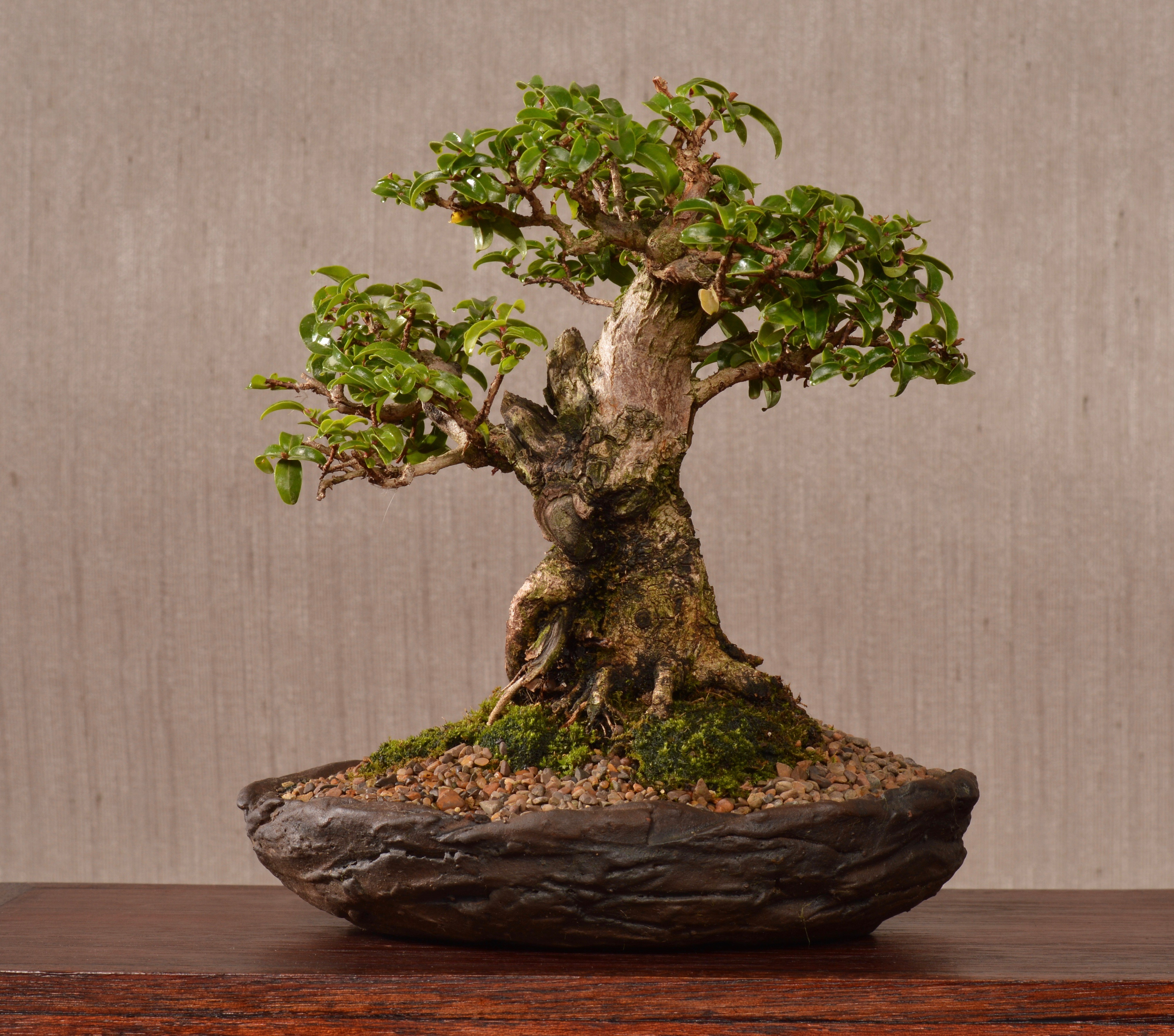 Ficus craterostoma on rock (Mame)